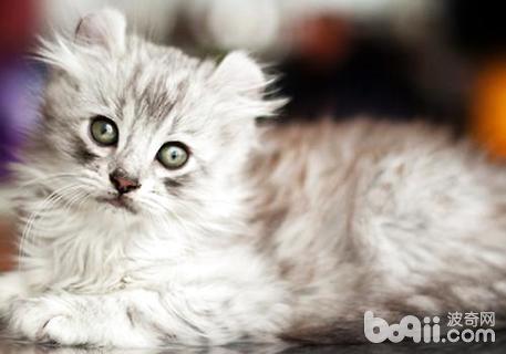 美国卷耳猫多少钱一只?美国卷耳猫价格-猫咪品种